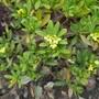 Daphne gemmata - 2020 (Wikstroemia gemmata)