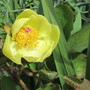 Paeony 'Molly the Witch' (Paeonia mlokosewitschii (Golden Peony))