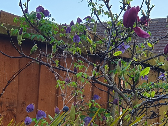 Tulip tree in bud with Clematis Frankie.