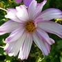 Pretty pink and white Cosmos (Cosmos bipinnatus (Cosmos))