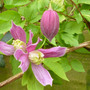Clamatic 'Constance' (Clematis 'Constance')
