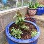 Sarcococca and phlox cuttings. (Phlox paniculata (Perennial phlox))