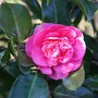 First Of My Camellias To Flower