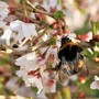 White-Tailed Bumble-Bee