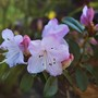 At Last, A Dwarf Rhododendron Flowering! (Rhododendron (Dwarf))