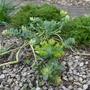Euphorbia myrsinites - 2020 (Euphorbia myrsinites)