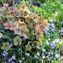 Helleborus 'Cinnamon Snow' among the Scillas