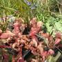 Sarracenia (Sarracenia)