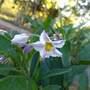 Solanum muricatum (Melon Pear)