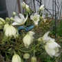 Clematis cartmanii 'Joe'