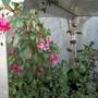 Fuchsia 'Isis' (Lemoine)