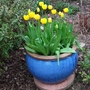 Second blue pot...I certainly intended to have yellow tulips this year!!