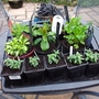 Tray of young perennials waiting to be planted out.