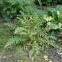 Corydalis_cheilanthifolia_2020