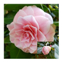 Pink Camellia and bud....
