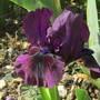 Standard Dwarf Bearded Iris (Iris pumila (Dwarf Flag))