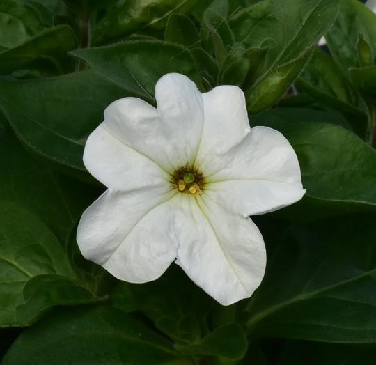 White Petunia (Petunia axillaris)