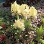 Iris suaveolens (update)