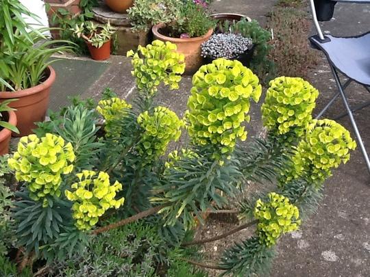 Euphorbia wolfenii syn venata