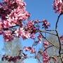 Almond blossom today.