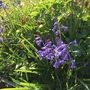 Early bluebells.