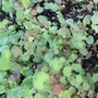 Heuchera seedlings