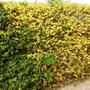 Forsythia_hedge