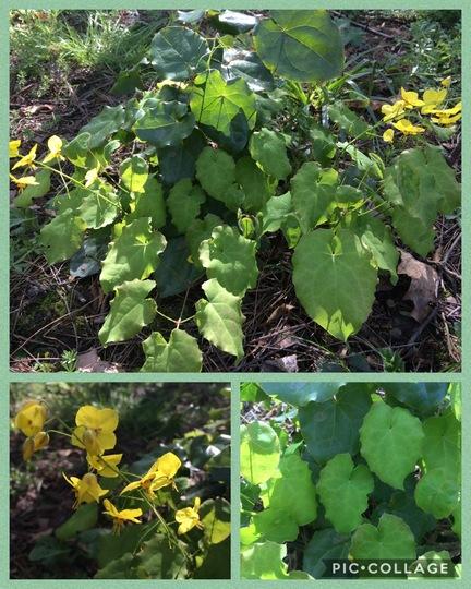 Seaburn - Check This Out - Epimedium perralderianum