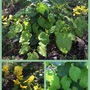 Seaburn - Check This Out - Epimedium perralderianum