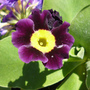 another Primula auricula (Primula auricula)