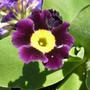 Primula_auricula_deep_violet