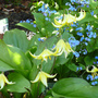 Erythronium_pagoda_and_brunnera