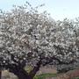 Prunus_serrulata_tai_haku
