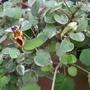 Fuchsia procumbens 'Wirral' flowers