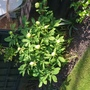 Molly the witch... (Paeonia mlokosewitschii (Golden Peony))