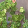 A tiny visitor lands on the pink geranium!