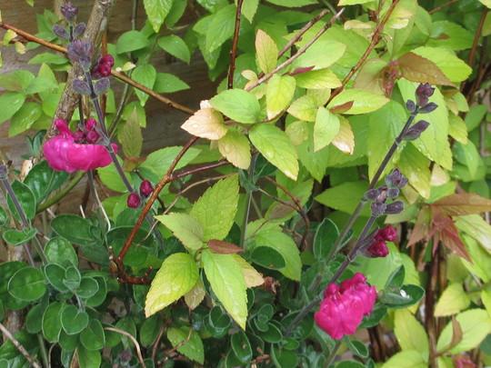 Cerise Salvia (Salvia microphylla)