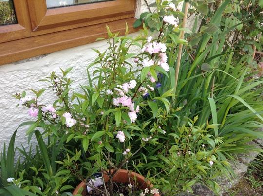 Prunus glandulosa ' Rosea Plena'