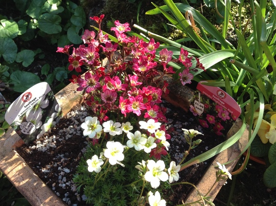 Two saxifrage just potted up.