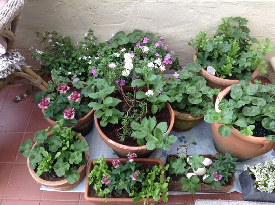 I have been planting up containers but as they can't go outside yet, they have to go in our small conservatory!
