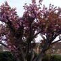 Mature cherry tree in our front garden.