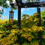 Japanese acer and wind chimes