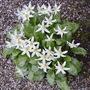 Erythronium (Erythronium californicum (Dog's-tooth violet))