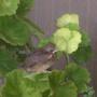 birdie in geranium 2