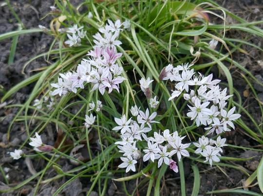 Allium 'Cameleon' - 2020 (Allium 'Chameleon')