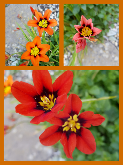 Sparaxis.......wand flower.. (Sparaxis tricolor (Harlequin Flower))