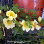 Chinese_rose_flowering_on_balcony_from_outside_20th_april_2020_001
