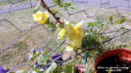 Chinese rose flowering on balcony 16th April 2020