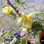 Chinese_rose_flowering_on_balcony_16th_april_2020