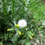 Groundsel, a native plant